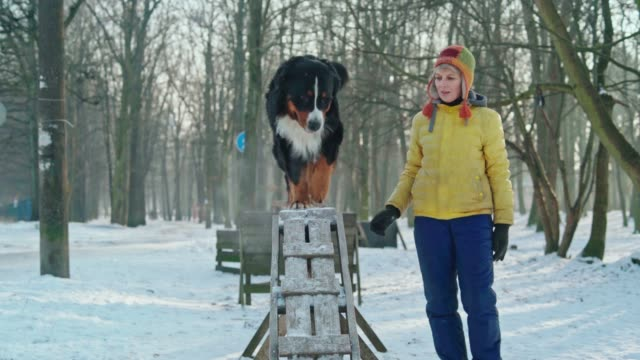 the mature attractive woman, dog trainer, teaching the bernese mountain dog to walk on the beam. - off leash dog park stock videos & royalty-free footage