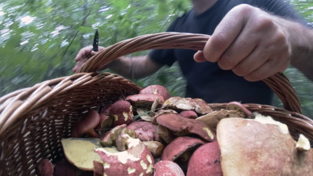 the mature man gathering mushrooms in the appalachian's forest in poconos, pennsylvania - picking mushrooms stock videos and b-roll footage