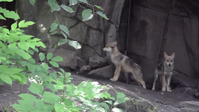 vídeos y material grabado en eventos de stock de the mexican wolf that is in danger of extinction are seen in captivity in a zoo in mexico city to conserve the species on august 15 2019 in mexico... - lobo mexicano