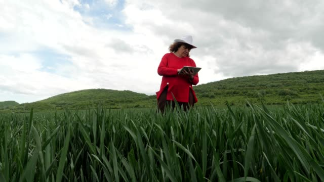 the modern farmer woman walking in a green wheat field in springtime, using digital tablet. innovation in agriculture. woman leader working outdoors. - working seniors stock videos & royalty-free footage