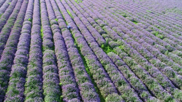 The Modern Farmer Woman Walking In her Lavender Fields in Summer, Small Business and Investment, Agricultural Occupation.