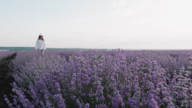 the modern farmer woman walking in her lavender fields in summer, small business and investment, agricultural occupation. - white shirt stock videos & royalty-free footage