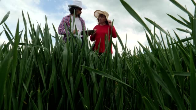 the modern farmers. an active senior businesswoman in a green wheat field in springtime with her younger business partner discussing the crop. innovation in agriculture. woman leader working outdoors. - working seniors stock videos & royalty-free footage