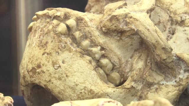 stockvideo's en b-roll-footage met the most complete skeleton ever found of an australopithecus a forerunner to modern man goes on display for the first time in johannesburg following... - prehistorische mens