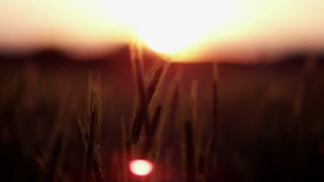 vídeos de stock e filmes b-roll de the movement of cereal. - orelha