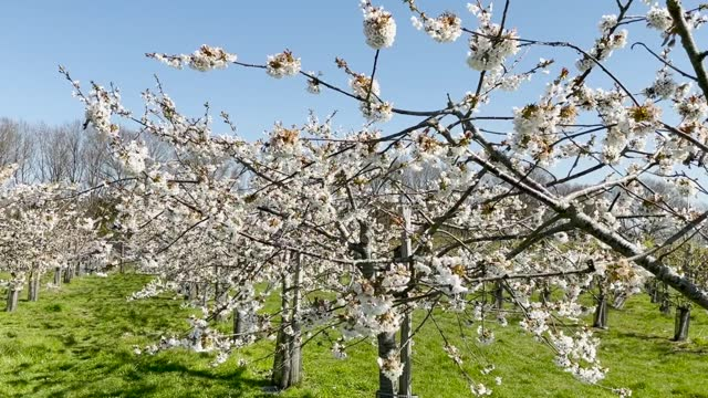 the national trust is asking the public to share the beauty of blossom on social media for #blossomwatch day on 24 april 2021. the campaign asks... - national trust stock-videos und b-roll-filmmaterial