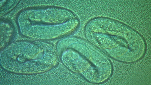 the nematode caenorhabditis elegans eggs  with embryo moving inside in bacterial lawn (escherischia coli op50). - dna test stock videos and b-roll footage