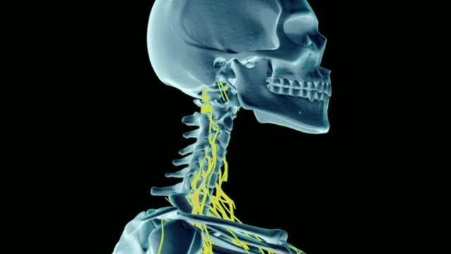 the nerves of neck. - cervical nerve stock videos & royalty-free footage