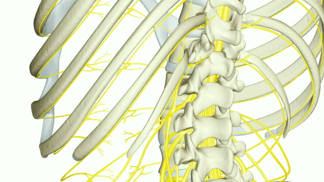 the nerves of the upperbody - cervical plexus stock videos & royalty-free footage