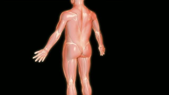 the nerves of the upperlimb - 尺骨神経点の映像素材/bロール