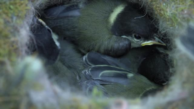 the nest is in a flowerpot in an english garden the eurasian blue tit and the related hybrids are considered native species in areas of the european... - animal family stock videos & royalty-free footage