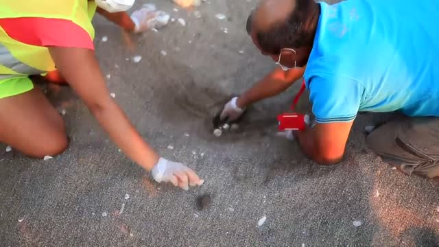 the newly-hatched caretta caretta turtles have begun their first journey in life towards the sea on cirali beach of southern turkey. the endangered... - caretta caretta stock videos & royalty-free footage