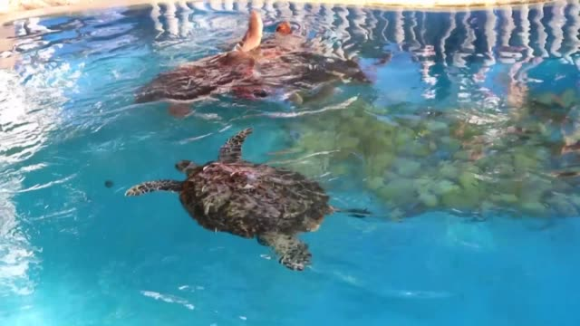 the non profit projeto tamar expresses its concerns over the impact of a huge oil spill on the lives of sea turtles off brazil's northeastern coast - northeastern brazil stock videos and b-roll footage