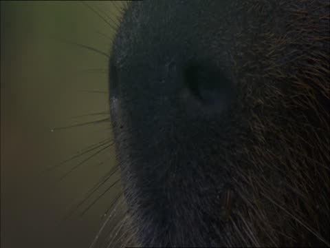 vídeos de stock, filmes e b-roll de the nostrils of a capybara twitch as it breaths. - squiggle