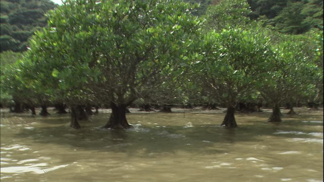 The ocean current flows between mangrove trees.