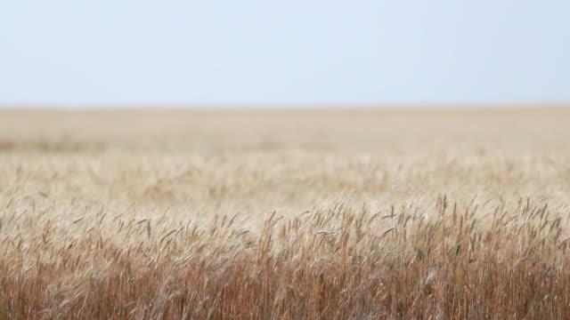 小麦畑のオイルポンプ - ポンプ場点の映像素材/bロール