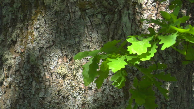 the old oak tree - tree trunk stock videos & royalty-free footage