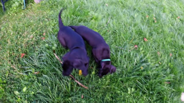 the only thing cuter than a great dane puppy is two great dane puppies. this is raven, an eight week old pup being introduced to her forever home.... - other stock videos & royalty-free footage
