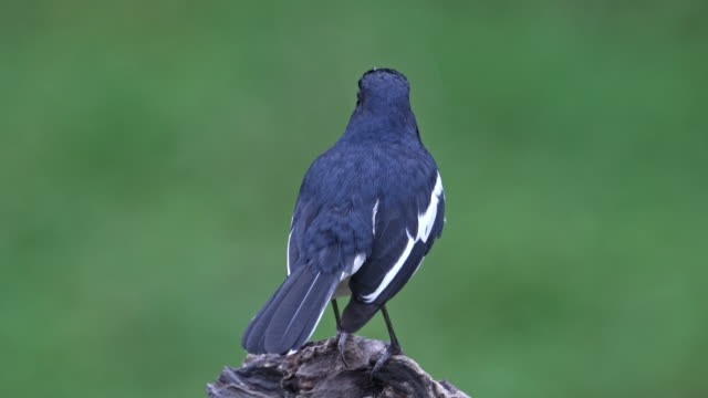 the oriental magpie-robin is a small passerine bird occurring across most of the indian subcontinent and parts of southeast asia. - elster stock-videos und b-roll-filmmaterial