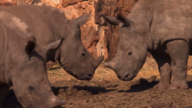 The owner of a South African game reserve is planning to poison the horns of his rhino as a drastic measure to combat a surge in poaching He says...