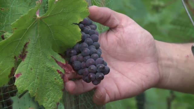 The Paris region once France's biggest winegrowing area has long lost out to Bordeaux and Burgundy but some grape lovers are reestablishing vines in...