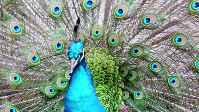The peacock spreads his splendid tail