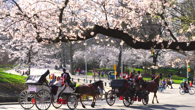 The people, runner, bikers and hose carriages run on the park road, which are surrounded by Cherry blossoms trees line in Central Park New York.