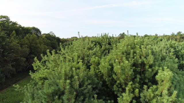 the pine tree closeup. the aerial drone close-up view to the tree-top in the forest in the pocono mountains at the summer sunny day. - viewpoint stock videos & royalty-free footage