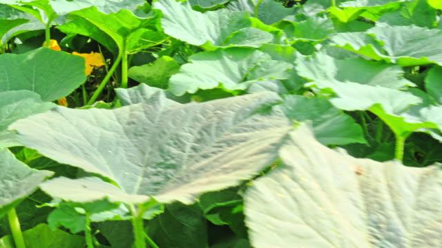 the plantation growing zucchin or pumpkin - pumpkin stock videos & royalty-free footage