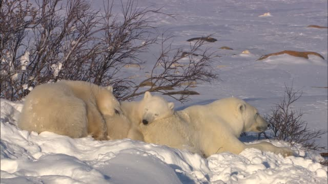 the polar bear family leaning against each other under a tree bush in the arctic - animal family video stock e b–roll