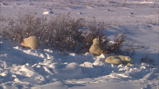 the polar bear family resting under the tree bush in the arctic - under her feet stock videos & royalty-free footage