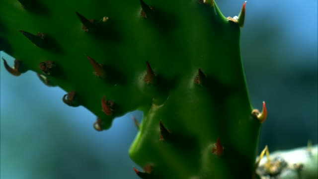 vidéos et rushes de the prickly thorns of a saguaro cacti. available in hd. - cactus