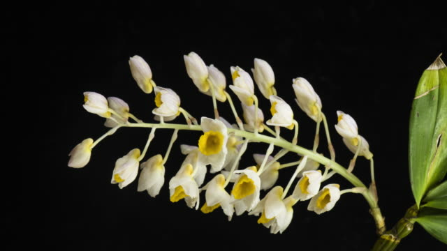 The process of caulis dendrobii flowers