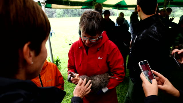 the public are introduced to the kiwi at shakespear open sanctuary on april 29, 2017 in auckland, new zealand. the 20 single little spotted kiwis... - new zealand culture stock videos & royalty-free footage