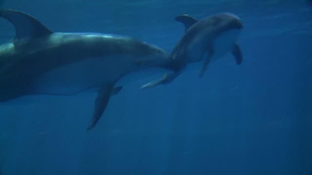 wgn the public got it's first look at the shedd aquarium's new baby dolphin on july 18 2015 the calf was born on june 1 2015 to 27yearold mom piquet - shedd aquarium stock videos and b-roll footage