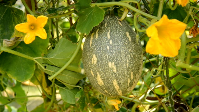 the pumpkins are beautiful pumpkin - textile patch stock videos & royalty-free footage