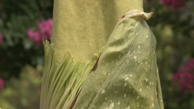 wgn the pungent plant corpse flower before it bloomed at the chicago botanic garden on august 17 2015 - smelling stock videos & royalty-free footage