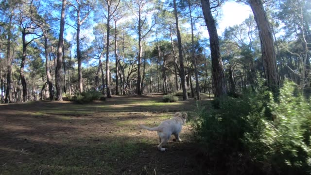 the puppy dog is a labrador in the forest - retriever stock videos & royalty-free footage