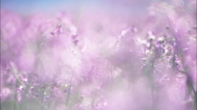 the purple flowers of rakkyo plants come into focus. - tokushima prefecture stock videos & royalty-free footage
