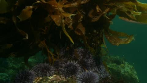 vídeos y material grabado en eventos de stock de the purple sea urchins nestle on a sea bed under waving kelp. available in hd. - kelp