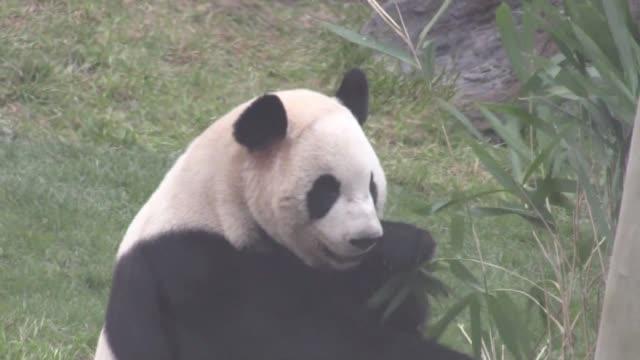 stockvideo's en b-roll-footage met the queen of denmark margrethe ii opens the panda enclosure at the copenhagen zoo - panda