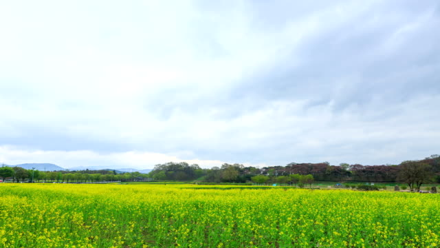 vidéos et rushes de the rape flower garden of gyeongju in kyongsangbuk-do province - végétation verdoyante