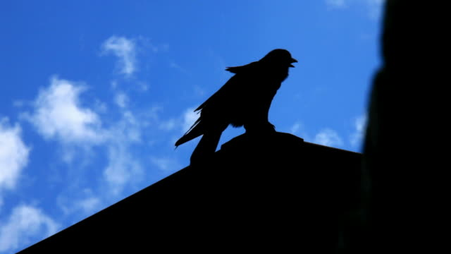 the raven - perching stock videos & royalty-free footage