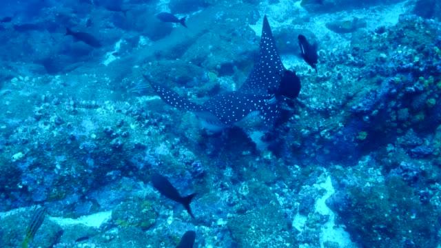 the ray eating food in galapagos islands - トビエイ点の映像素材/bロール