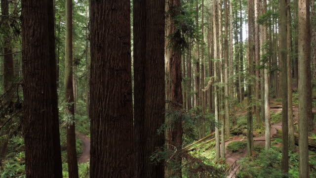 the redwoods forest near arcata in northern california, usa west coast. drone video with the camera flying forward between the trees, panning cinematic motion. - coast redwood stock videos & royalty-free footage
