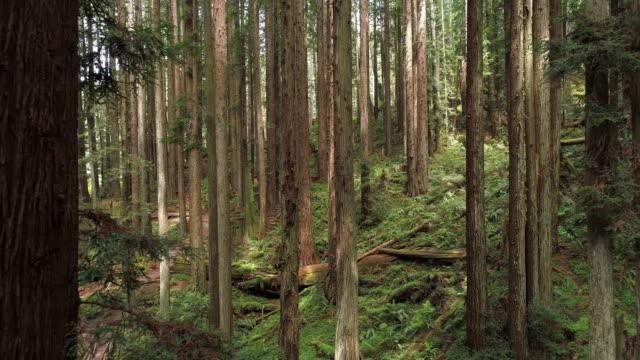 vídeos de stock, filmes e b-roll de a floresta dos redwoods perto de arcata em califórnia do norte, costa ocidental dos eua. vídeo drone com a câmera voando para a frente entre as árvores. - sequoia sempervirens