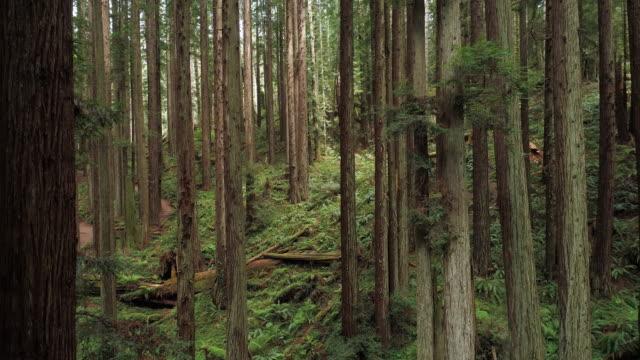 vídeos de stock, filmes e b-roll de a floresta dos redwoods perto de arcata em califórnia do norte, costa ocidental dos eua. vídeo drone com a câmera subindo entre as árvores. - sequoia sempervirens
