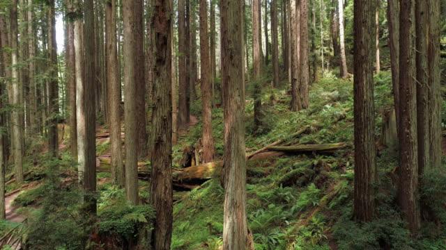 vidéos et rushes de la forêt de redwoods près d'arcata dans le nord de la californie, usa côte ouest. vidéo de drone avec la caméra descendant entre les arbres. - séquoia