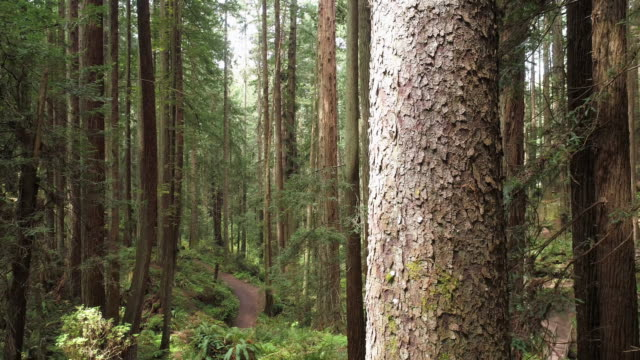 the redwoods forest near arcata in northern california, usa west coast. drone video with the camera flying forward between the trees, panning cinematic motion. - northern california stock videos & royalty-free footage