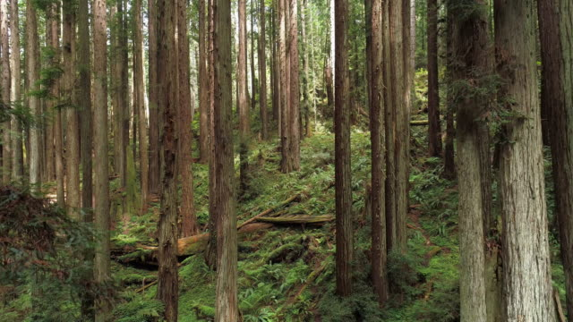 the redwoods forest near arcata in northern california, usa west coast. drone video with the camera descending motion between the trees. - coast redwood stock videos & royalty-free footage